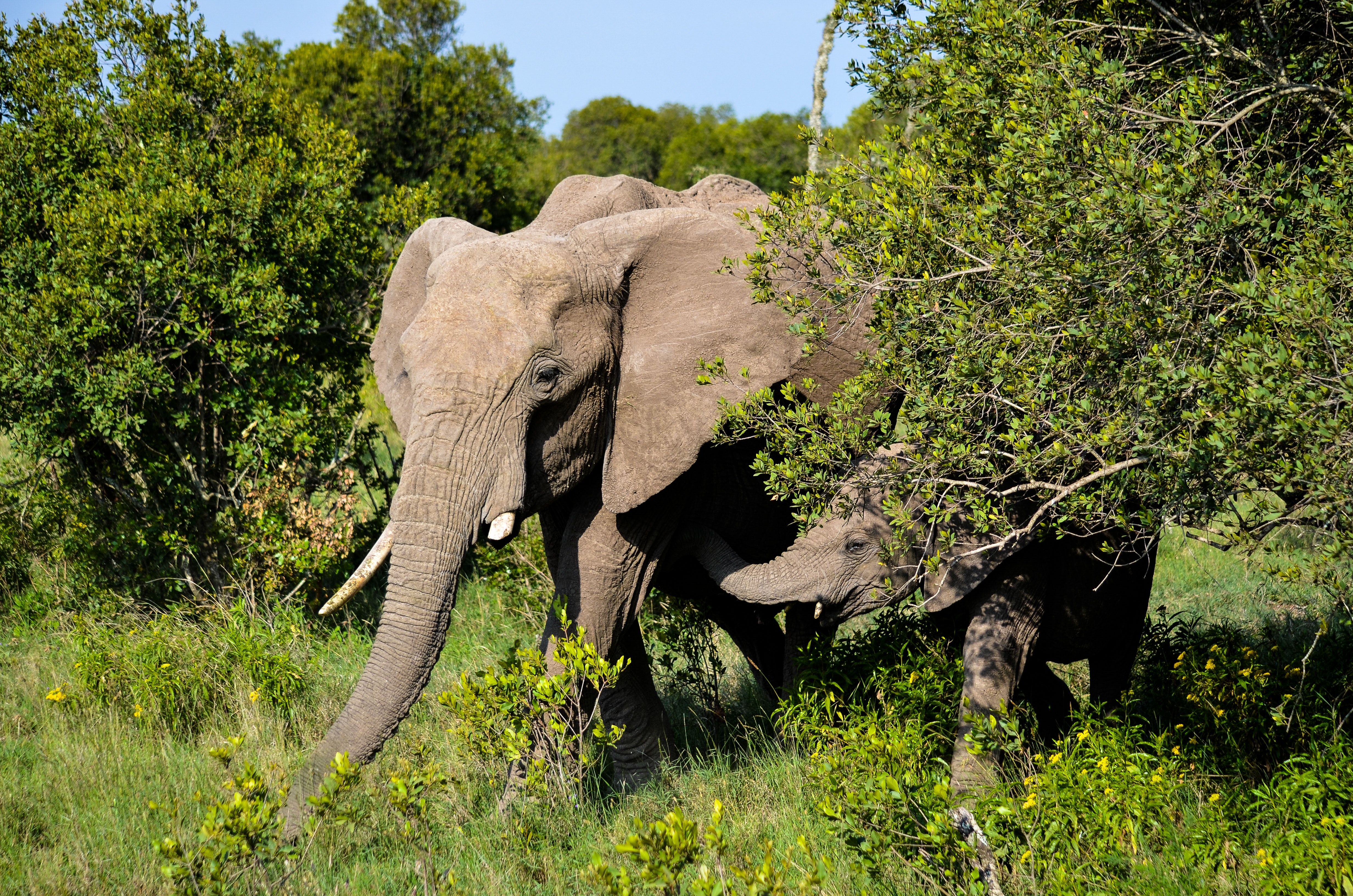 adult-africa-african-elephant-925901