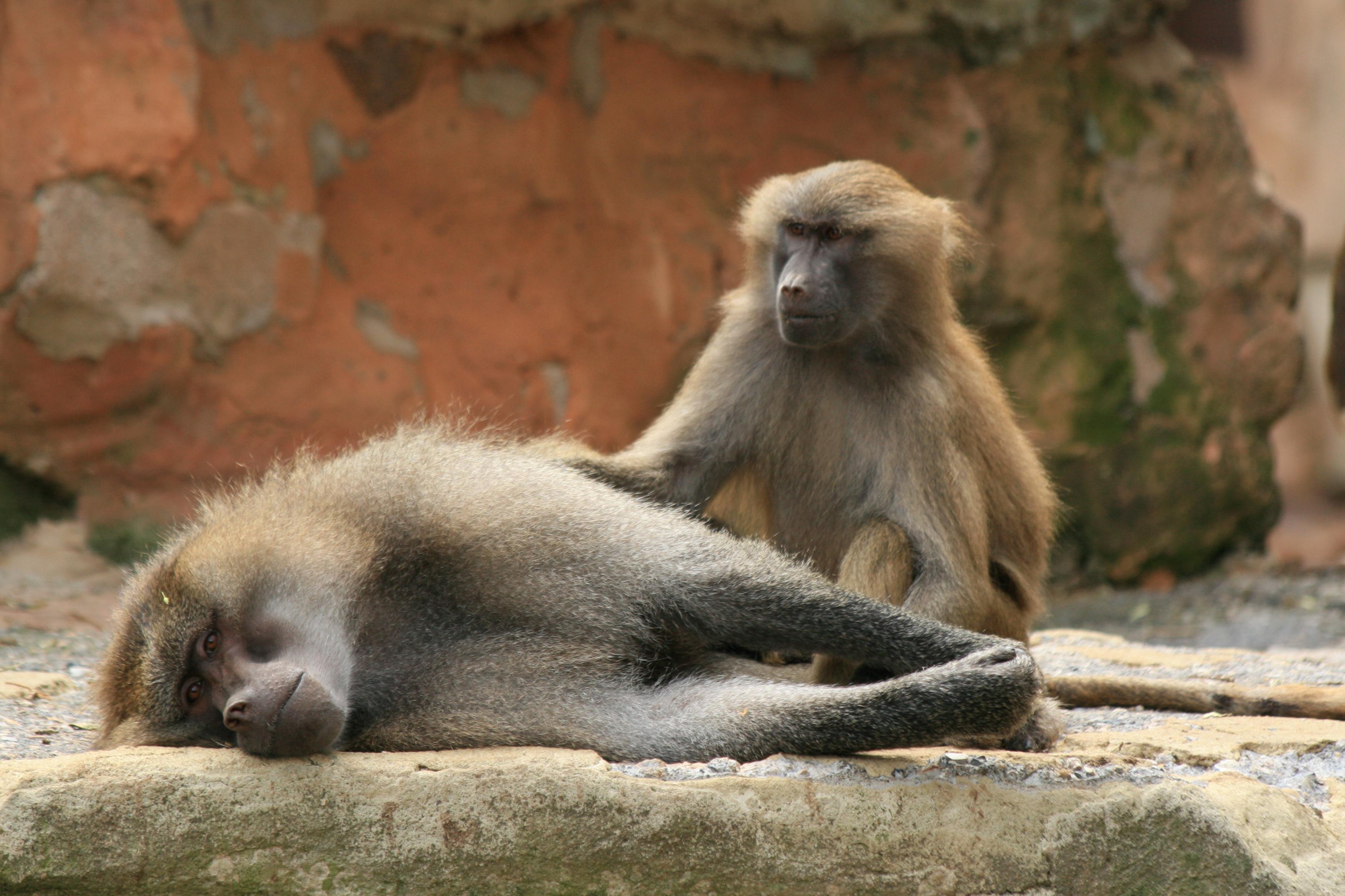 monkey-baboons-1372420